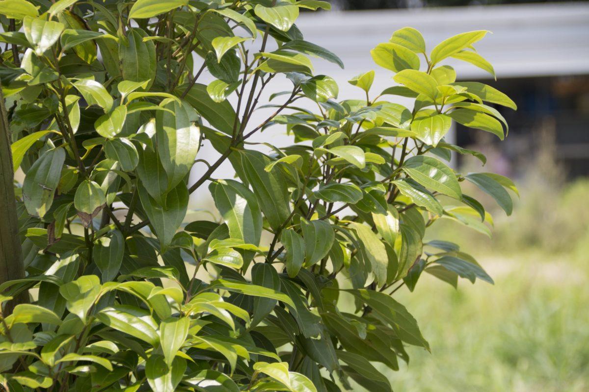 ニッケイの木